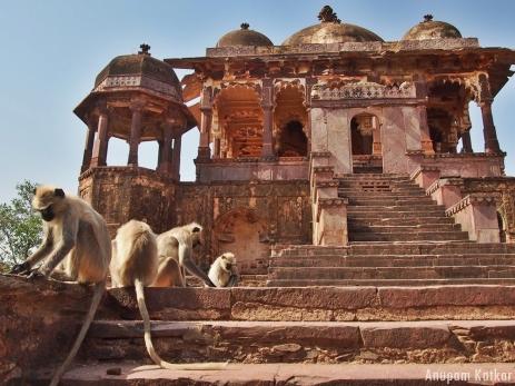 Gray Hanuman Langur, Ranthambore Fort