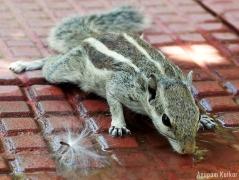 Squirrel, Ranthambore