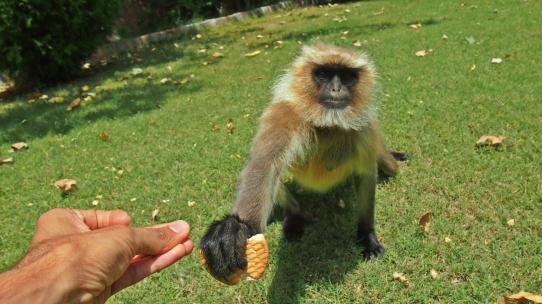 Hanuman Gray Langur Sharing Food, Ranthambore