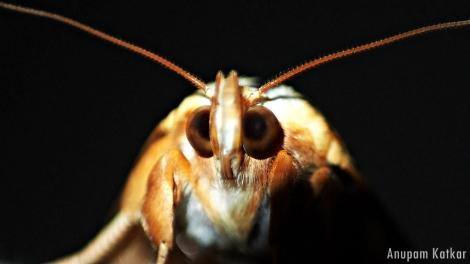 Moth Face Close-Up