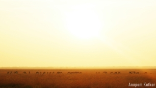 Blackbuck Herd, Sunrise, Blackbuck National Park, Velavadar, Savannah Grassland Landscape