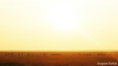 Blackbuck Herd, Sunrise, Blackbuck National Park, Velavadar, Savannah Grassland Landscape