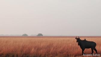 Nilgai, Blackbuck National Park, Velavadar, Savannah Grassland Landscape