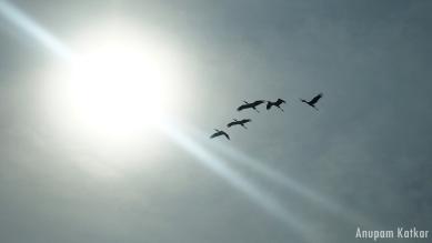 Common Cranes, Blackbuck National Park, Velavadar