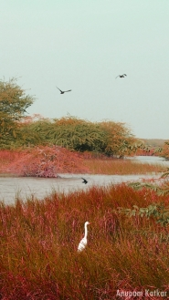 Wetland, Blackbuck National Park, Velavadar