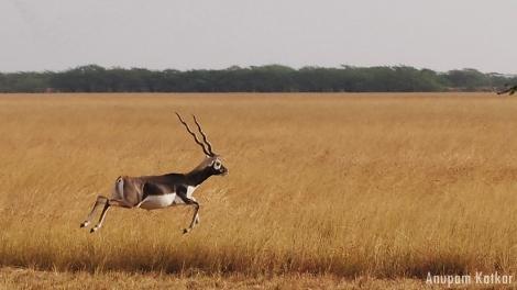 Blackbuck Leaping, Running, Velavadar, Savannah Grassland Landscape