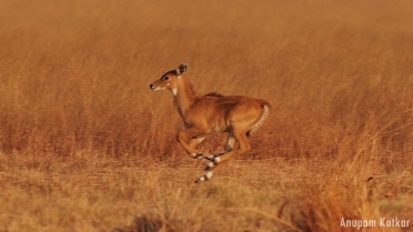 Nilgai Calf, Running, Galloping, Blackbuck National Park, Velavadar