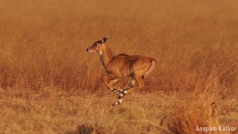 Nilgai Calf, Running, Galloping, Blackbuck National Park, Velavadar