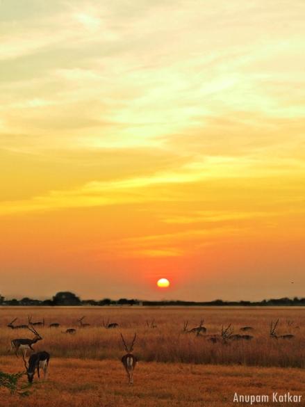 Blackbuck National Park, Velavadar, Indian Savannah Grassland