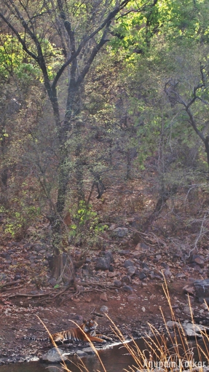 Tiger, Ranthambore, Forest, T-24, T24, Ustaad