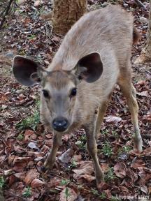 Sambhar Fawn, Ranthambore National Park