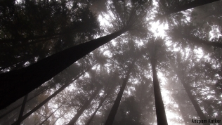 Pacific rainforest canopy
