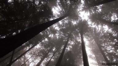 Pacific rainforest canopy