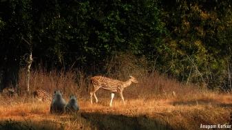 Langurs watching chital
