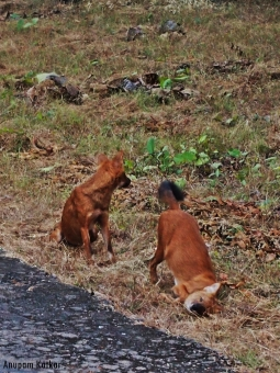 Asian Wild Dogs / Dhole Playing