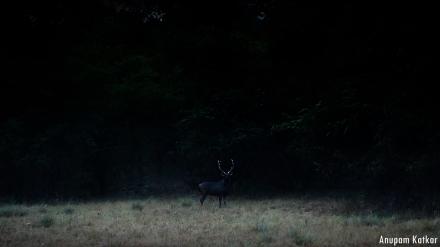 Sambhar stag