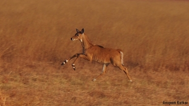 Nilgai calf galloping