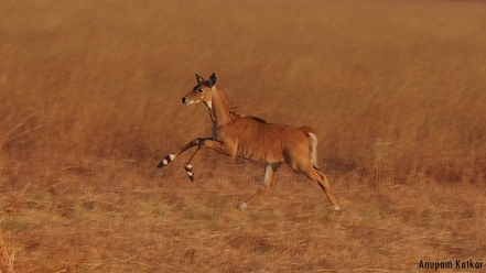 Nilgai calf galloping