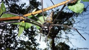Golden Orb Weaving / Giant Wood Spider