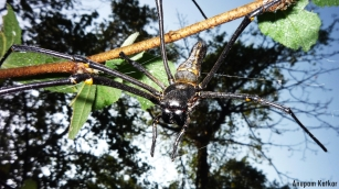 Golden Orb Weaving / Giant Wood Spider