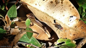Baby Indian Skink, Housefly