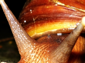 Mite on a snail