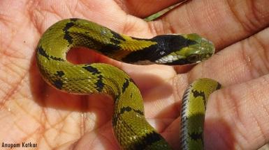 Baby green keelback
