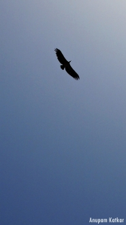 White-rumped vulture soaring