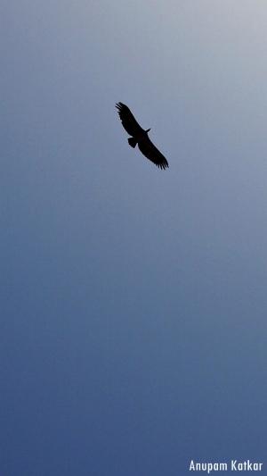 White-rumped vulture soaring