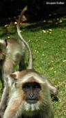 Friendly young langur