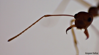 Detail of a trap-jaw ant's antenna