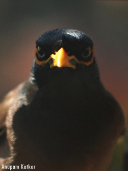 Common (Indian) Myna Portrait