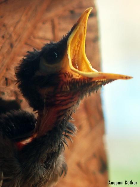 Common (Indian) Myna Nestling