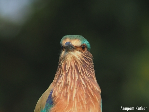 Indian Roller Portrait