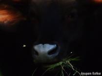 A gaur disturbs a moth as he grazes