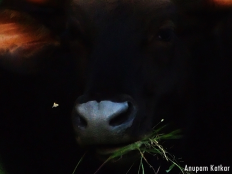 A gaur disturbs a moth as he grazes