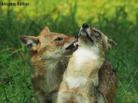 Male jackal (left) caressing his lifelong partner