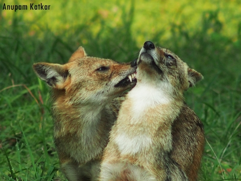 Male jackal (left) caressing his lifelong partner