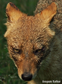 Golden (Indian) Jackal Close-Up