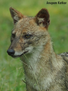 Golden (Indian) Jackal Face