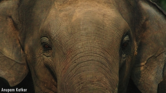 Asian Elephant Portrait
