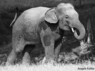 Asian Elephant Calf, Pench National Park