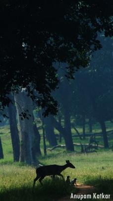 Chital, Hanuman Langur, Tadoba National Park