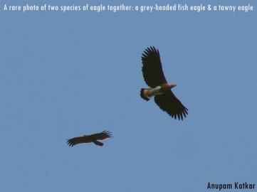 Grey-headed Fish Eagle, Tawny Eagle, Pench National Park