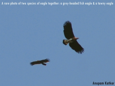 Grey-headed Fish Eagle, Tawny Eagle, Pench National Park