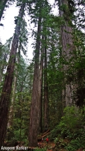 Coastal Redwoods, Old Growth Forest