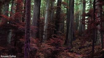 Coastal Redwoods