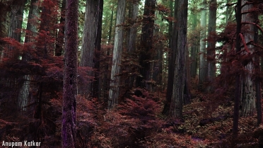 Coastal Redwoods