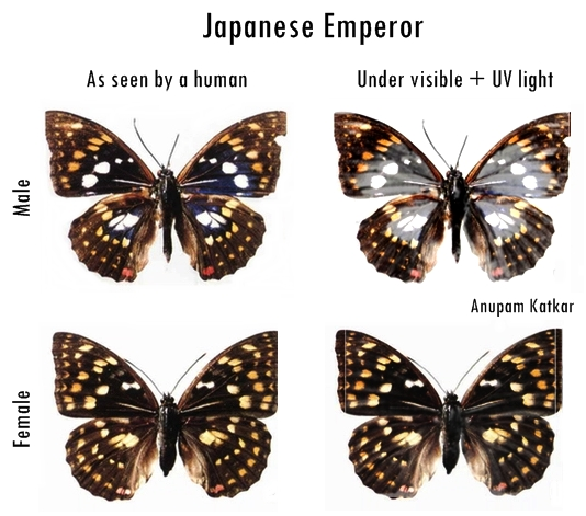 Butterfly-Japanese-Emperor-UV