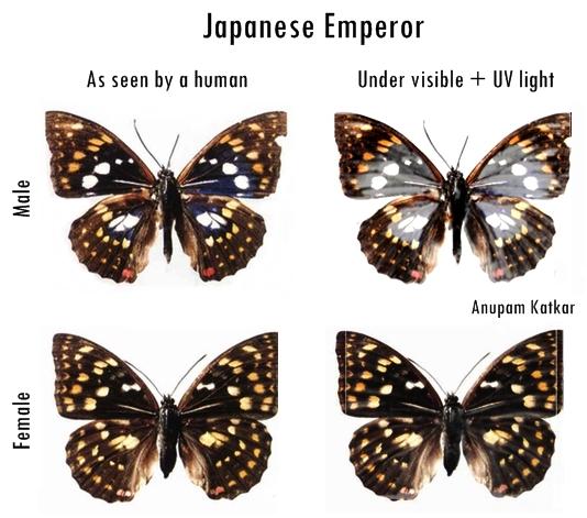Butterfly-Japanese-Emperor-UV